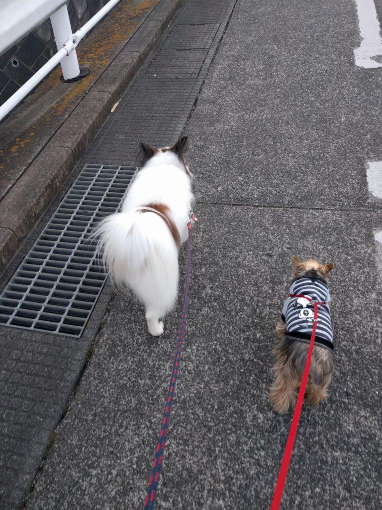 康ちゃんとアンちゃん2頭並んでお散歩中
